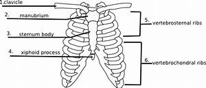 Blank Thoracic Cage Diagram Free Download Wiring Diagram