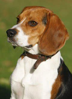 beagles advice   trust