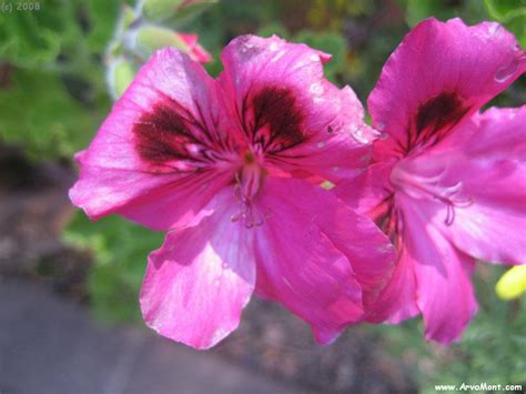 Peru Flowers