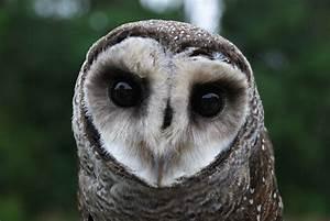 Lesser sooty owl - Wikipedia  Lesser