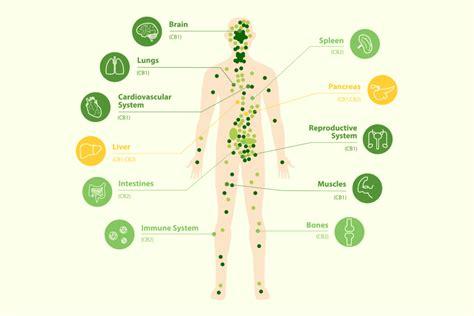 endocannabinoid system cbd news direct