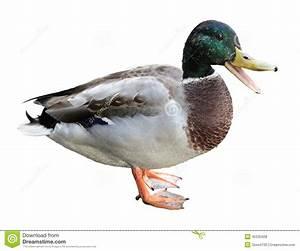 Quacking Duck stock photo. Image of nature, drop, mallard ...