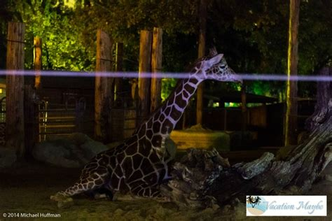 zoo lights at the fresno chaffee zoo vacationmaybe