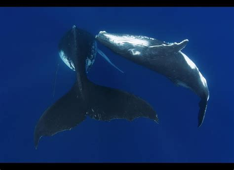 whale humpback grouper calves goliath attack bumper swimming crop sharks calf mother scary surftweeters