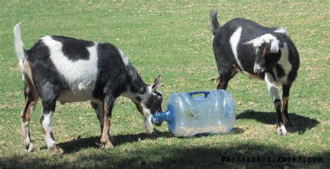 water jug goat toy petdiyscom