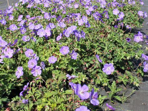 rhododendron niedrigere klassifizierungen storchschnabel rozanne 174 geranium wallichianum rozanne 174 baumschule horstmann