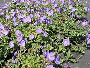Bodendecker Blau Blühend Winterhart : storchschnabel 39 rozanne 39 geranium wallichianum ~ Michelbontemps.com Haus und Dekorationen