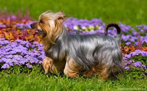 expensive dog breeds gobankingrates