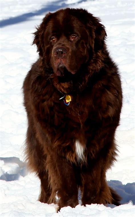 extra large dog breeds images  pinterest big