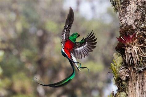 quetzal birds pinterest