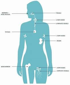 What Are The Functions Of The Organs In The Immune System