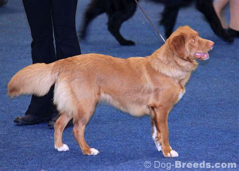 scotia duck tolling retriever pictures and informations breeds