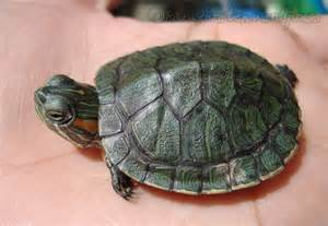 turtle fact 8 changing shell color underneath the shell