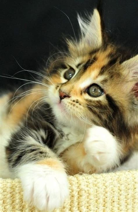 calico kitten names 87 best calicos torties images on pinterest
