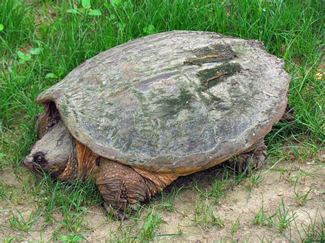 snapping turtle shell shedding common snapping turtle facts you need to