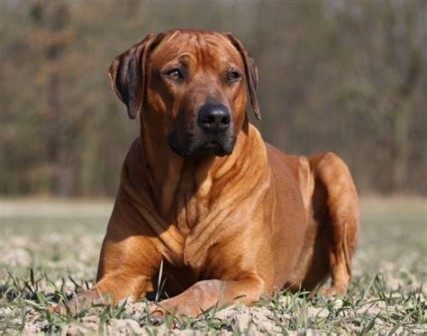 rhodesian ridgeback breed guide learn about the