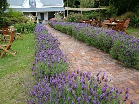 lavender hedge images lavender hedge front garden ideas pinterest hedges lavender and lavender hedge