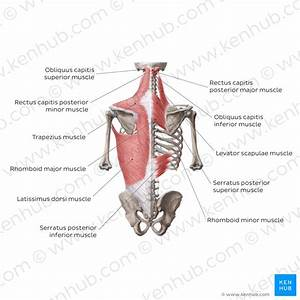 Trapezius Muscle  Anatomy  Origins  Insertions  Actions