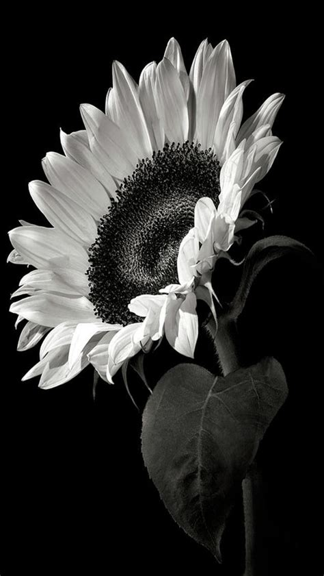 sunflowers black  white photography iphone wallpapers