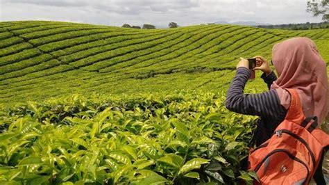 pesona keindahan   wisata kebun teh  terkenal