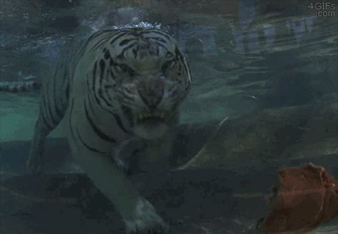 tiger eating gifs find share  giphy