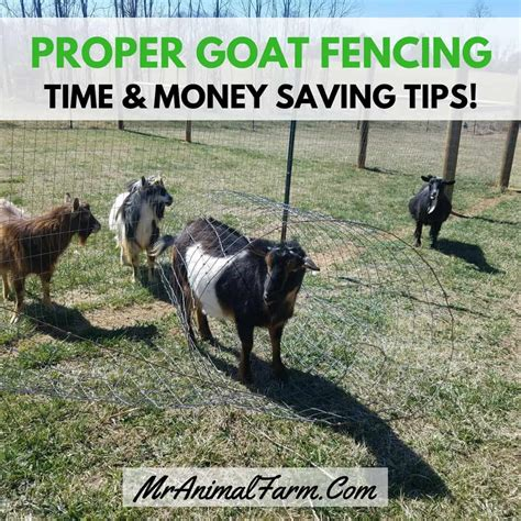 proper goat fencing time money saving tips mranimal