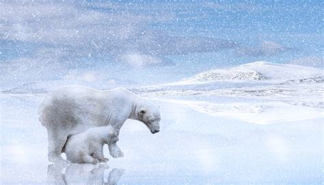 polar bears bear cub  photo  pixabay