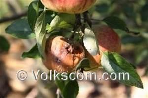Schädlinge Am Kirschbaum : kirschbaumkrankheiten am kirschbaum ~ Lizthompson.info Haus und Dekorationen