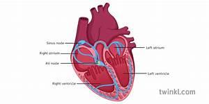 Heart Diagram Labelled Illustration