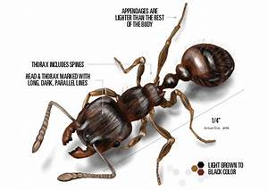 Pavement Ants Control - Get Rid of Pavement Ants