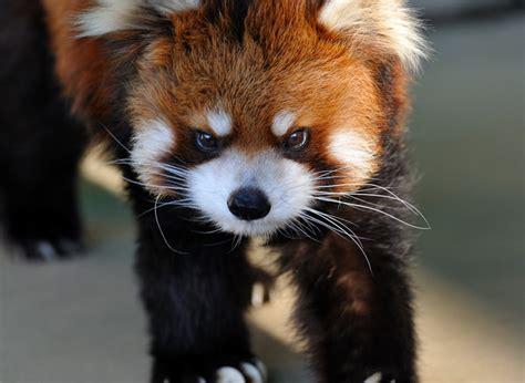 red pandas   grow  big  strong cuteness