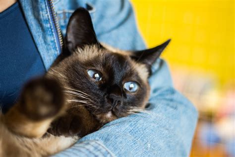9 Affectionate Cat Breeds That Actually Love To Cuddle