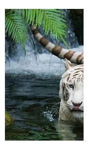 [70+] Wallpaper White Tiger on WallpaperSafari