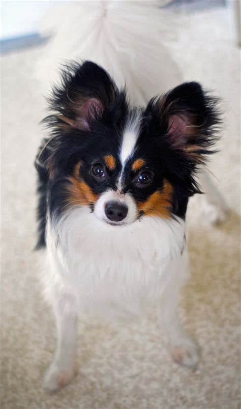 books  papillon puppies dog care daily puppy