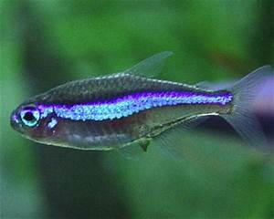 Green Neon Tetra Aquarium Hobbyist Resource and Social