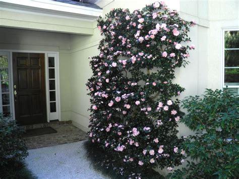 camellia sasanqua cotton candy    espalier