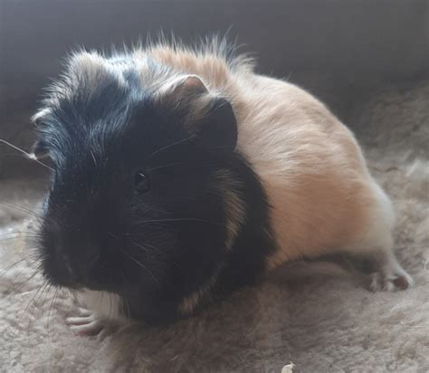 Baby Female Guinea Pig March Cambridgeshire Pets4homes