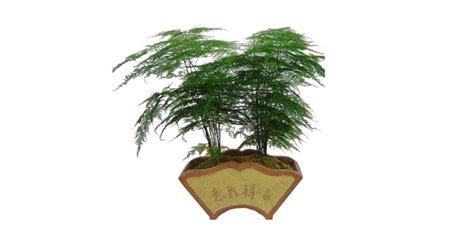 jual tanaman asparagus plumosus hp