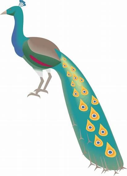Burung Kartun Merak Warna Clipart Peacock Clip