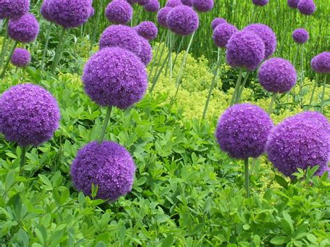 what to plant with allium talking to plants silly allium