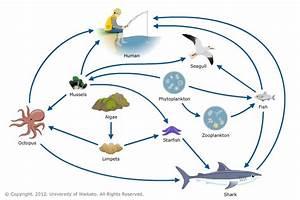 Marine Food Web  U2014 Science Learning Hub