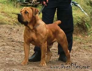 black boerboel - Google Search | Hunde | Pinterest