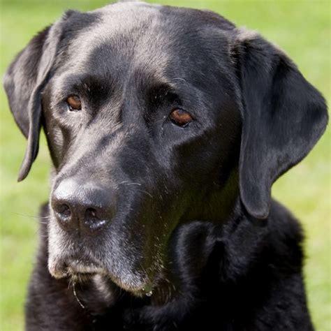 cute dogspets black lab labrador retriever pictures