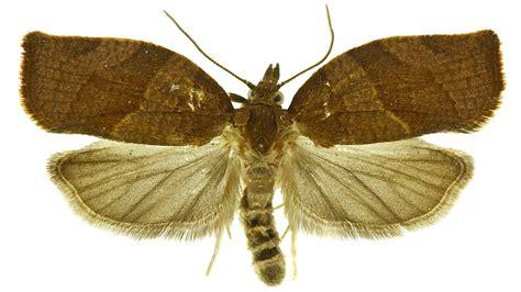http://idtools.org/id/leps/tortai/Pandemis_heparana.htm