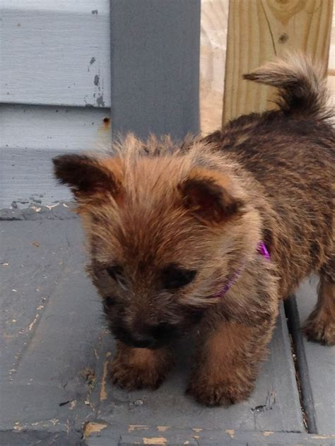 145 best cairn terriers images on pinterest