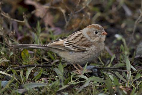 bc rare bird alert rba field sparrow in colwood
