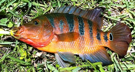 florida issues call  anglers  target exotics