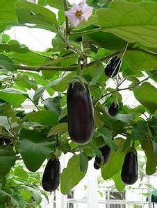 Eggplant Tree | Filipino Food Pictures | Pinterest | Trees ...