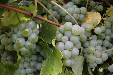 Niagara Grapes   A 'native' grape www.visitfingerlakes.com ...