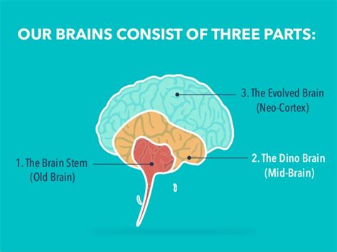 3 Sections Of The Brain by Our Brains Consist Of Three